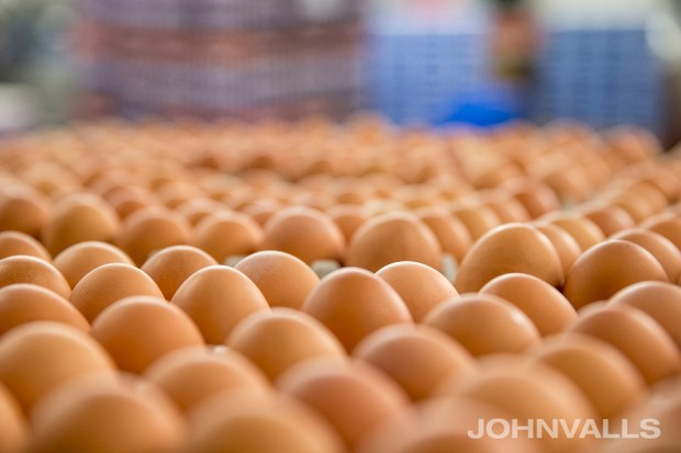 Brown eggs in processing at Willamette Egg Farm