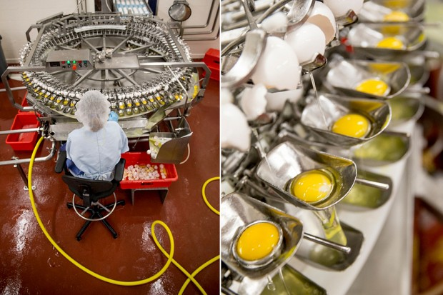 worker separating eggs at processing plant