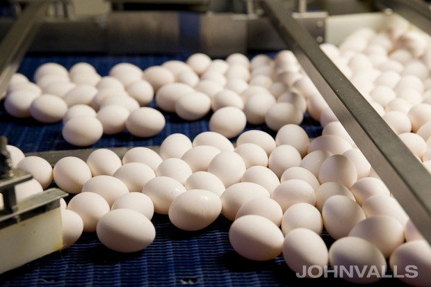 white eggs in production