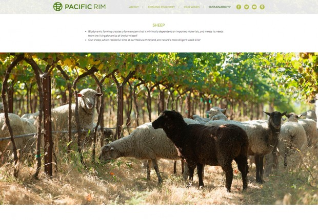 pacific_rim_sheep