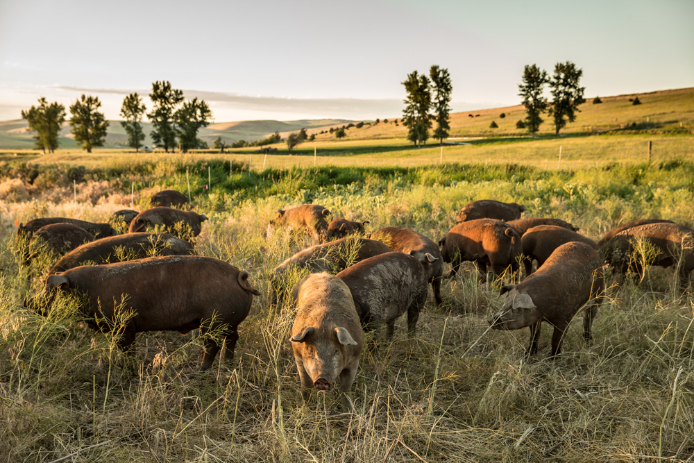 Pasture raised pigs at sunset near Wallowa Oregon